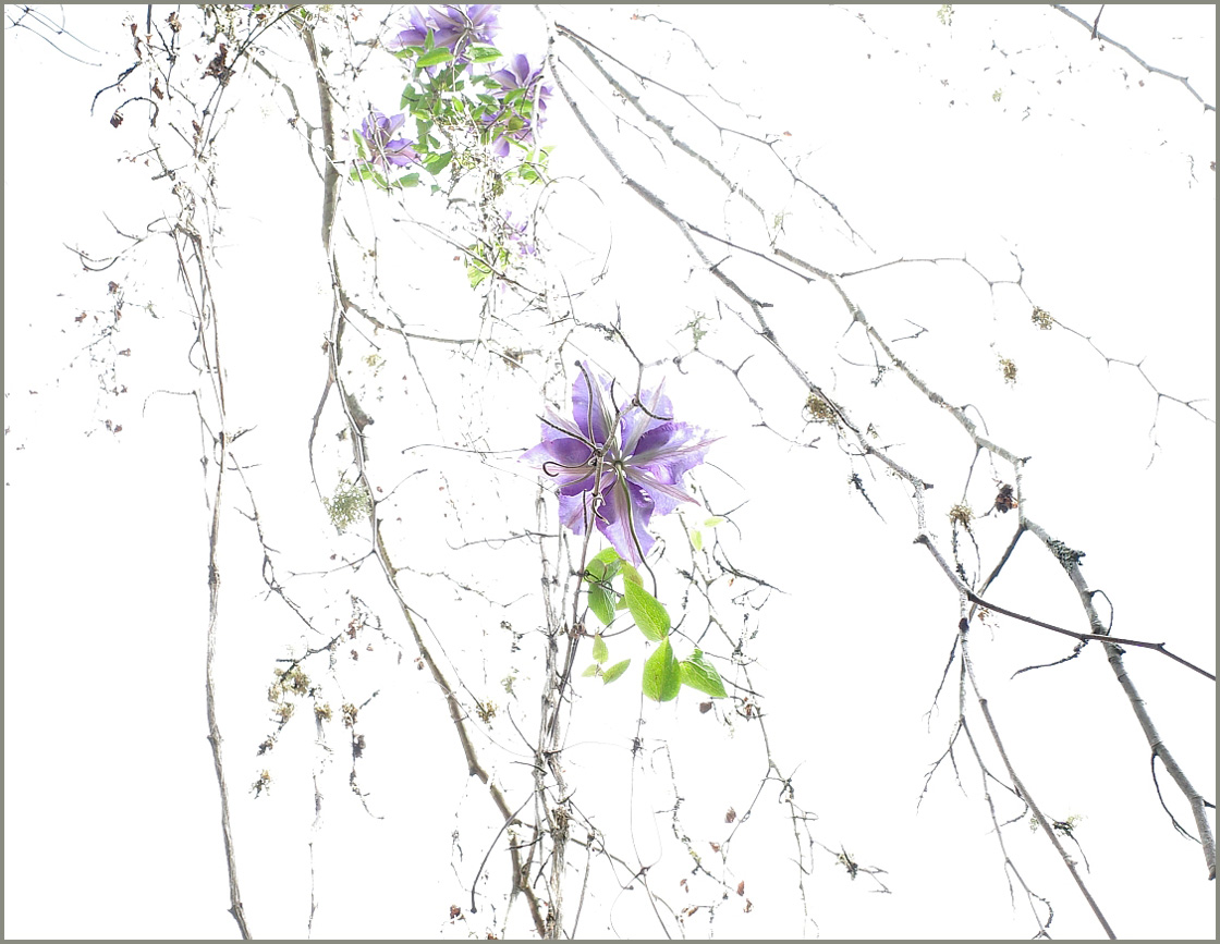 Timothy Gibbons - Clematis on Dead Beech